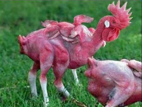 в kfc курицы мутанты, курица с 6 крыльями из kfc, в kfc делают еду из 8-ногих куриц, слухи про фастфуды,